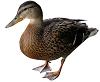 Mallard duck Download free photos. pato-real Baixe fotos grátis. ànec silvestre Descarregar...